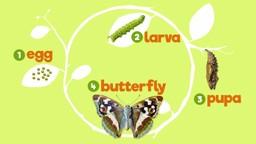 Butterflies: Caterpillars in Disguise