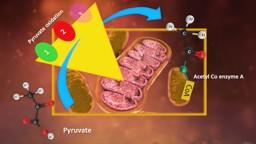 Cellular Respiration - Pyruvate Oxidation