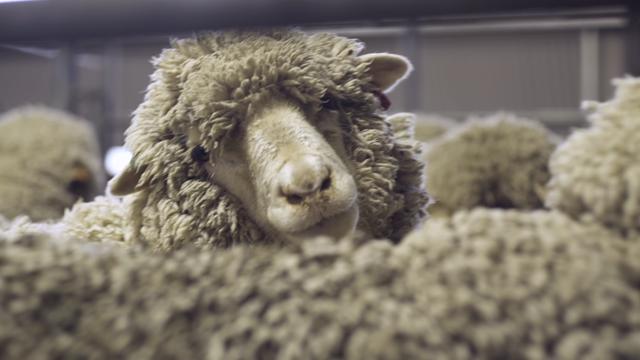 Triple Bottom Line in Action: Wattle Park Merino Wool Farm