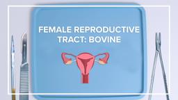 Female Reproductive Tract: Bovine