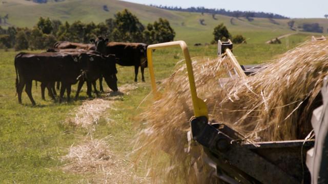 Sustainable Cattle Feeding