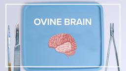 Ovine Brain