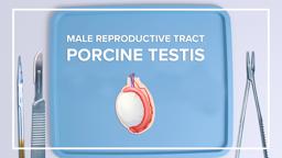 Male Reproductive Tract: Porcine Testis
